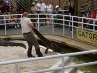 Wrestling Alligators at Gatorland in Florida!
